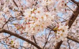 春天在同济大学开花系列,樱花 库存图片