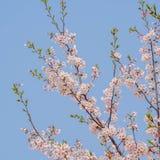 春天在同济大学开花系列,樱花 免版税库存图片