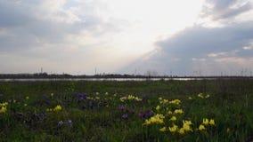 春天在干草原的虹膜花 股票录像