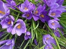 春天在庭院里开花番红花 库存照片