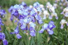 春天在庭院里开花,蓝色虹膜 免版税库存照片