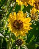 春天在有Balsamroot野花的中央俄勒冈到达了 免版税库存照片
