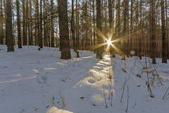 春天在杉木树` s森林里 库存图片