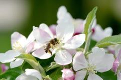 春天在果树园。 免版税库存图片