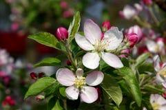 春天在果树园。 库存照片