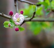 春天在果树园,苹果树开花关闭 库存照片