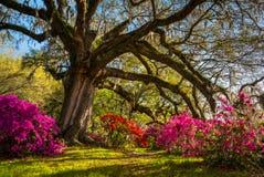 春天在查尔斯顿南卡罗来纳种植园开花绽放 免版税库存照片