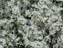 春天在树的分支的樱花 库存照片