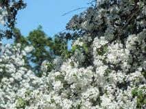 春天在树的分支的樱花 库存图片