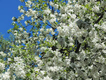 春天在树的分支的樱花 免版税库存图片