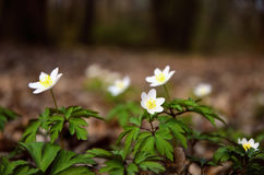 春天在森林里。 库存照片