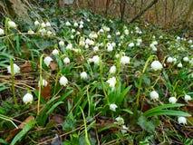 春天在森林里在欧洲中部来临,雪花开花在深刻的狂放的自然  库存图片