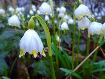 春天在森林里在欧洲中部来临,雪花开花在深刻的狂放的自然  免版税库存照片