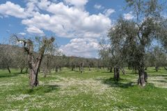 春天在橄榄色的庭院里 库存照片
