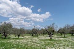春天在橄榄色的庭院里 库存图片