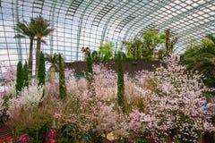 春天在滨海湾公园的樱花 免版税库存照片