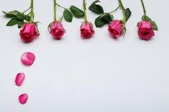 春天在白色背景中开花-桃红色玫瑰 免版税库存照片