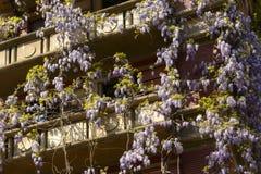 春天在米兰,开花的紫藤#02 免版税库存图片