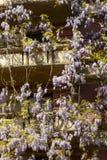 春天在米兰,开花的紫藤#03 库存图片
