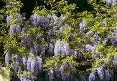 春天在米兰,开花的紫藤#01 免版税库存图片