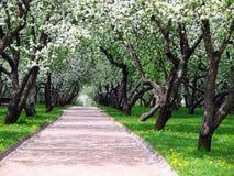 春天在苹果庭院里 库存照片