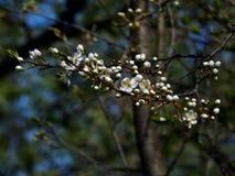春天在苹果树分支开花  免版税库存照片