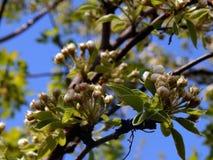 春天在苹果树分支开花  免版税库存图片