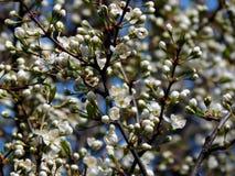 春天在苹果树分支开花  库存照片
