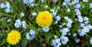 春天在草甸开花蒲公英和勿忘草 图库摄影
