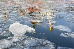 春天在莫斯科。漂浮在冰川的北极熊 免版税库存图片
