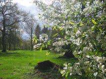 春天在蓝天和绿色叶子背景的开花的树樱桃宏观照片, 库存图片
