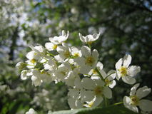 春天在蓝天和绿色叶子背景的开花的树樱桃宏观照片  免版税库存图片
