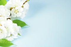 春天在蓝色背景的杏子开花 免版税库存照片