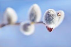 春天在蓝色背景的杨柳芽 免版税库存图片