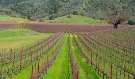 春天在观看藤的行的费尔菲尔德加州葡萄园区域用黄色芥菜 免版税库存照片