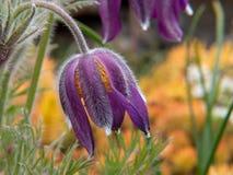 春天在黄色背景的番红花花 免版税库存图片