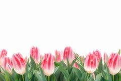 春天在绿草的郁金香花 免版税库存图片