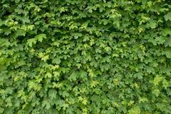 春天墙壁长满与新鲜的绿色常春藤离开 自然的范围 免版税库存照片