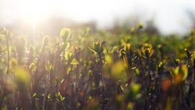 春天夏天自然本底 r 美丽的年轻枝杈在春天在太阳的金黄光芒的 免版税库存图片