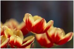 春天定期的郁金香 库存图片
