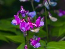 春天山黧豆属植物或山黧豆属vernus开花宏指令,选择聚焦,浅DOF 库存照片