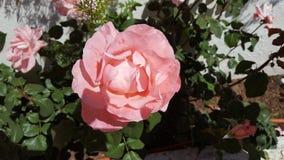 春天庭院上升了 免版税图库摄影