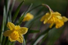 春天庭院黄色水仙花雨下落 库存图片