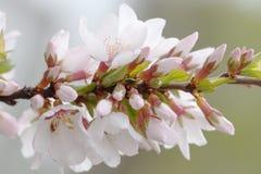 春天庭院,开花的樱桃树分支 花、分支与芽和年轻绿色叶子 软背景的重点 库存照片
