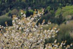 春天开花一棵狂放的樱桃树 库存图片
