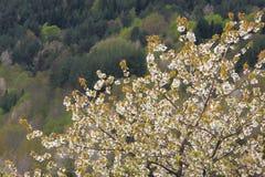 春天开花一棵狂放的樱桃树 库存照片