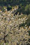 春天开花一棵狂放的樱桃树 免版税库存图片