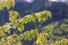 春天开花一片狂放的樱桃树和叶子 库存照片