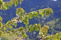 春天开花一片狂放的樱桃树和叶子 图库摄影