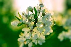 春天开花与白色开花和绿色bokeh bac的背景 免版税库存图片